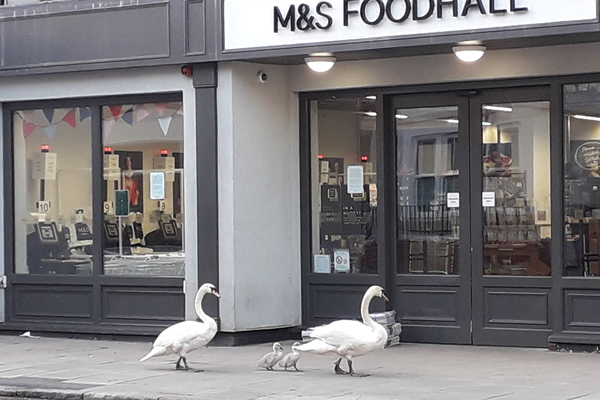 Our resident swans perusing Barnes High Street