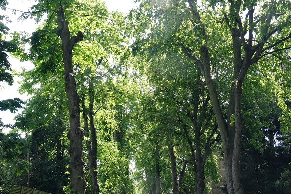15. Longfield Walk and its pleached limes