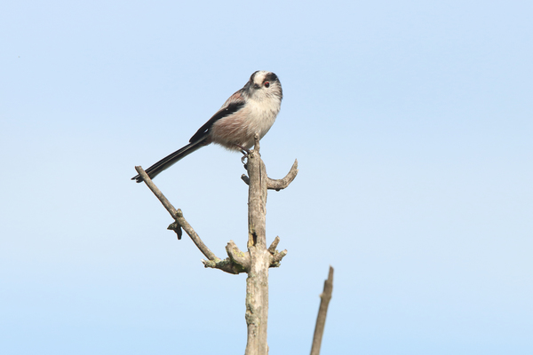 Long Tailed Tit at Walthamstow Wetlands