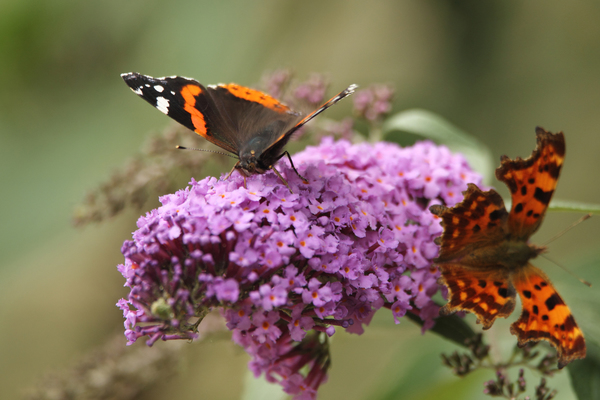 Red Admiral and Comma Butterfly at Walthamstow Wetlands