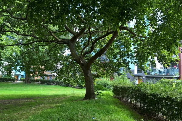 Acton's heraldry – young Oak Tree in South Acton Recreation Ground