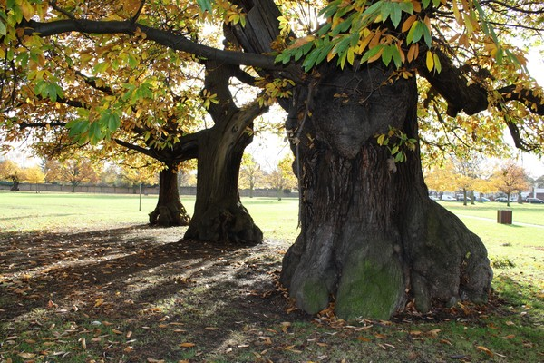 Sweet Chestnuts, remnant of Wanstead Park's 18th century avenues