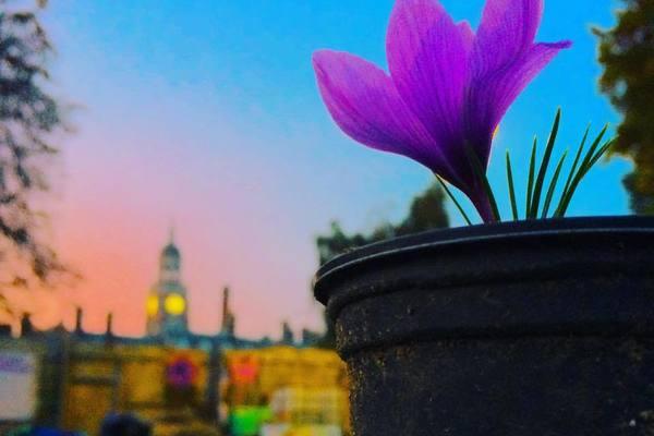 Flower of Croydon