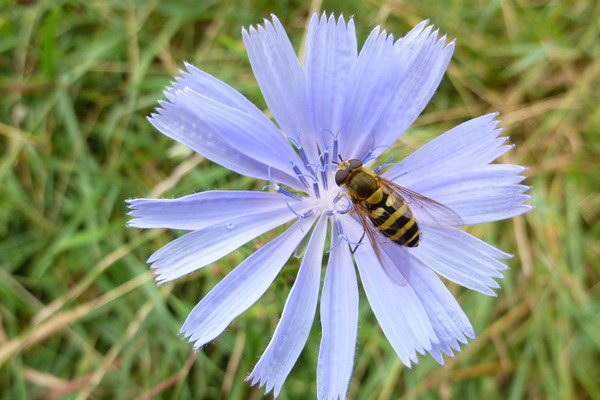 Chicory at Jubilee Country Patk