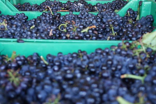 2018 pinot noir harvest