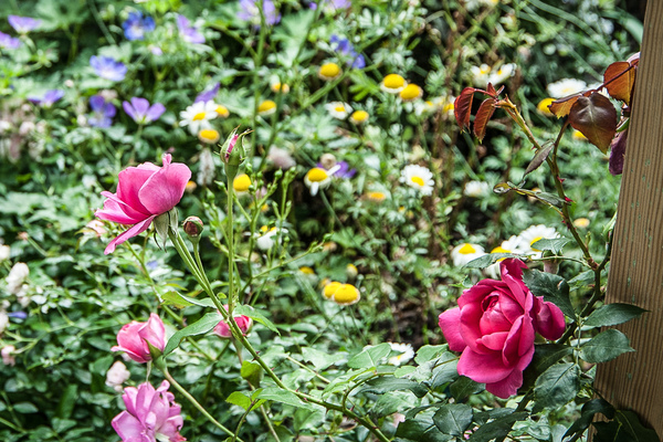 Roses and geraniums in the garden