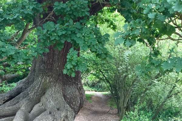 Oak pollard