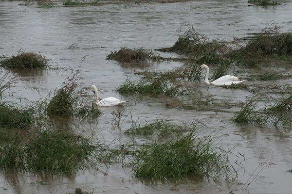 Swans on scrape