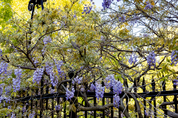 Wisteria in flower along the railings
