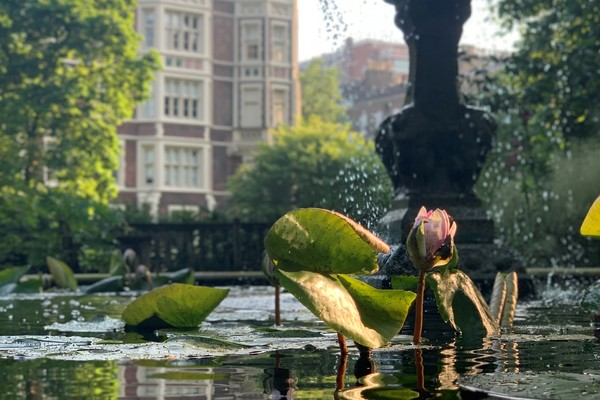 The pond and fountain with Nymphaea 'Attraction' coming into flower